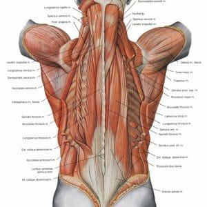 muscles paravertébraux